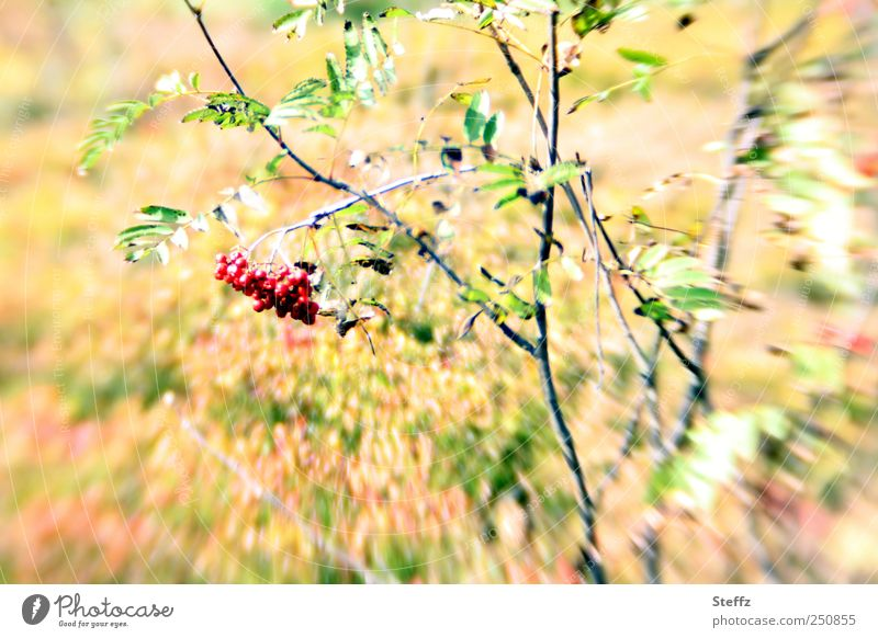 Vogelbeeren Natur rot Pflanze Blatt Farbe Umwelt Bewegung hell Frucht außergewöhnlich Sträucher Beeren herbstlich Herbstbeginn Heide