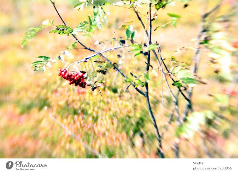 Vogelbeeren Umwelt Natur Pflanze Sträucher Blatt Wildpflanze Beeren Beerensträucher Heidekrautgewächse hell rot Bewegung Farbe September Herbstbeginn herbstlich