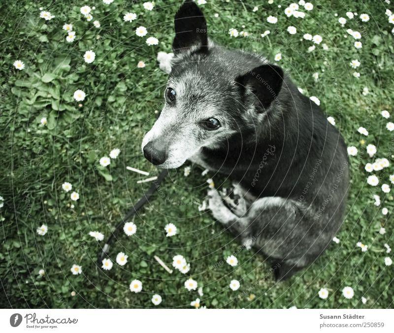 Schäferhund Natur Tier Wiese Garten grau Hund träumen warten sitzen nah Wachsamkeit Gänseblümchen Haustier Pfote Treue