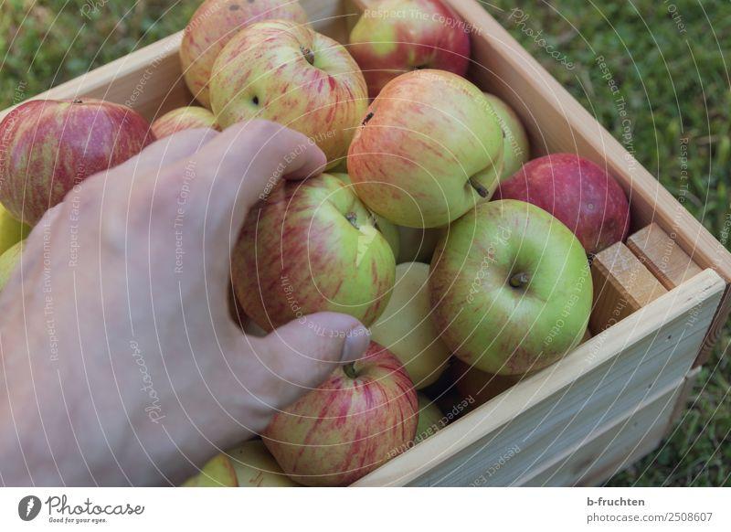 Apfelernte Frucht Bioprodukte Vegetarische Ernährung Gesunde Ernährung Hand Finger Schönes Wetter Garten Kasten Holz Arbeit & Erwerbstätigkeit wählen gebrauchen