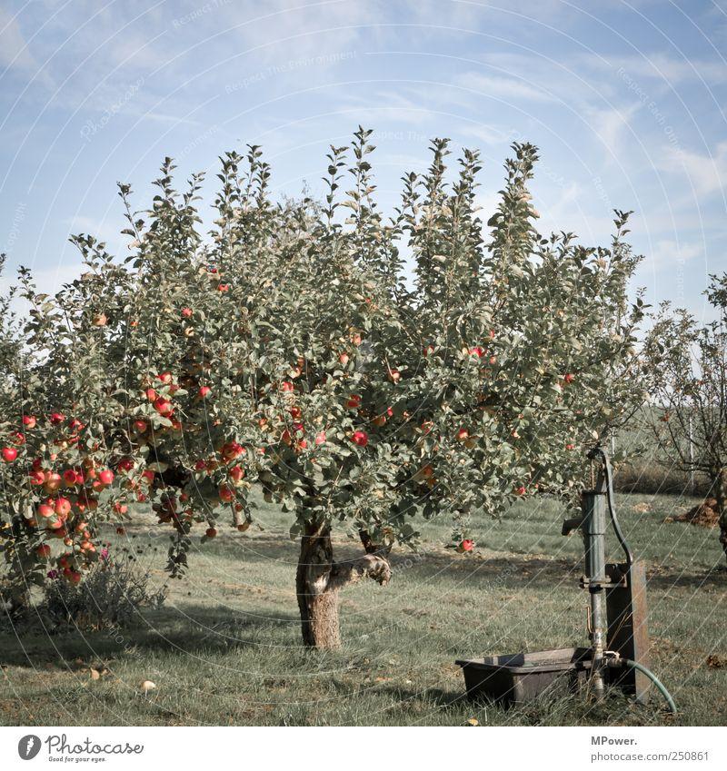 apfelbaum blau grün rot Blatt Ernährung Lebensmittel Frucht süß Apfel lecker Appetit & Hunger Bioprodukte saftig Wasserhahn Außenaufnahme sauer