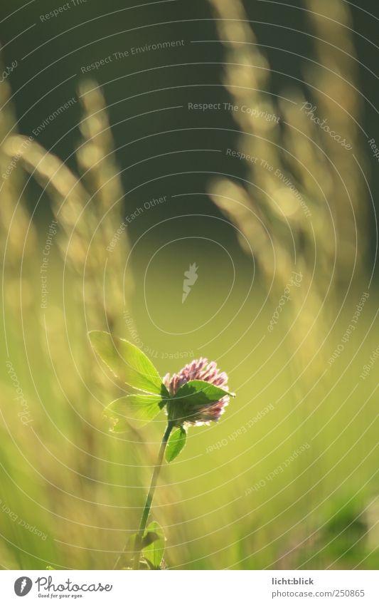 lichtwärts Natur Pflanze Blume Blatt ruhig Einsamkeit Wiese Blüte Gras Feld Warmherzigkeit Idylle Grünpflanze Kleeblatt Wildpflanze
