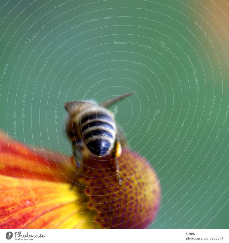 Nachschlag holen schön Umwelt Natur Pflanze Tier Blume Blüte Wildtier Biene Insekt ästhetisch authentisch klein gestreift Leichtigkeit Mittelpunkt Nektar