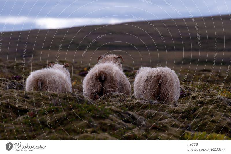 Schafe im Moos vor sanftem Hügel (Iceland) Natur Einsamkeit Tier Wege & Pfade Kunst Zufriedenheit Coolness Tiergruppe Hügel Gelassenheit Zusammenhalt Weisheit Vulkan Nutztier