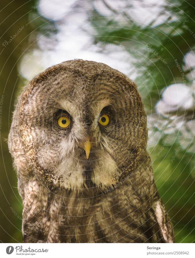 Scharfblick Tier Wildtier Vogel Tiergesicht Flügel Zoo 1 Blick Eulenvögel Eulenaugen Waldkautz Uhu Farbfoto Gedeckte Farben mehrfarbig Außenaufnahme