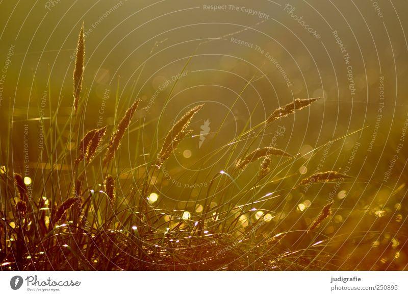 Gras Umwelt Natur Pflanze Sonnenlicht Ostsee Stranddüne Dünengras leuchten Wachstum natürlich schön Stimmung Farbfoto Außenaufnahme Tag Licht