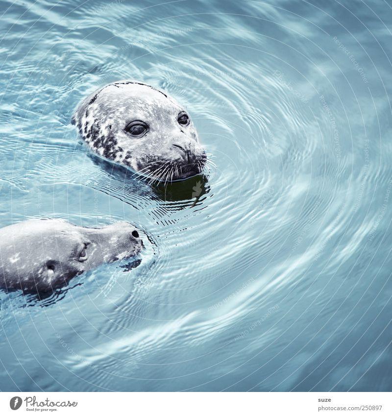 Doppelkopf Schwimmen & Baden Meer Wellen Natur Tier Wasser Wildtier Tiergesicht 2 Tierpaar beobachten Neugier niedlich wild blau Robben Seehund Kopf