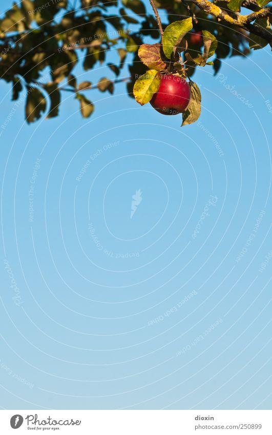 [CHAMANSÜLZ 2011] Baum der Erkenntnis -1- Lebensmittel Frucht Apfel Bioprodukte Vegetarische Ernährung Himmel Wolkenloser Himmel Schönes Wetter Pflanze Blatt