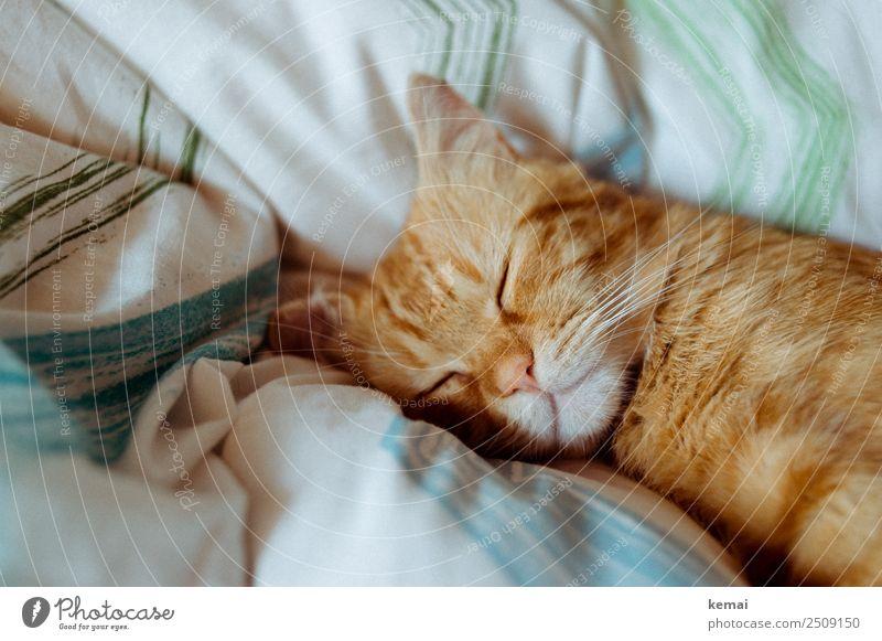 Schlafhaltung Lifestyle harmonisch Wohlgefühl Zufriedenheit Sinnesorgane Erholung ruhig Freizeit & Hobby Häusliches Leben Bett Bettdecke Tier Haustier Katze