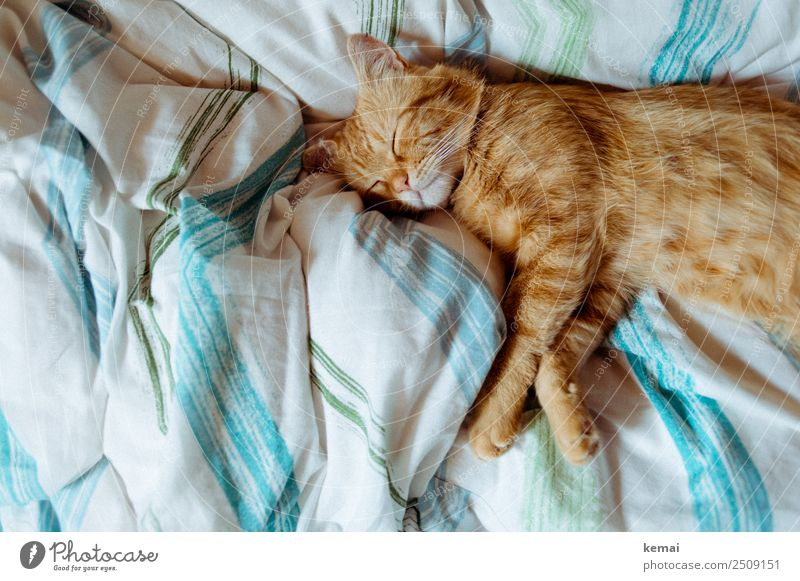 Dem Kater ist zu heiß harmonisch Wohlgefühl Zufriedenheit Sinnesorgane Erholung ruhig Häusliches Leben Wohnung Bett Schlafzimmer Bettdecke Tier Haustier Katze