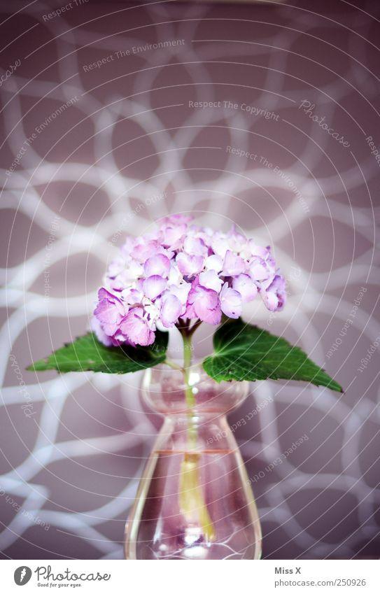 Hortensie Blume Blatt Blüte violett Blumenvase Vase Glas rosa strahlend Farbfoto mehrfarbig Nahaufnahme Muster Menschenleer Licht