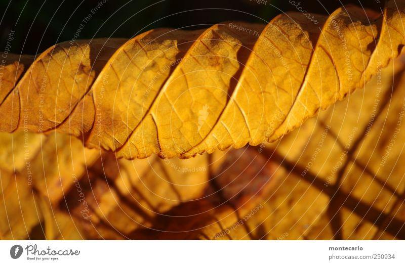 Blattgold Umwelt Natur Pflanze Sonnenaufgang Sonnenuntergang Herbst Schönes Wetter Nutzpflanze Garten Park alt trocken gelb schwarz Farbfoto mehrfarbig