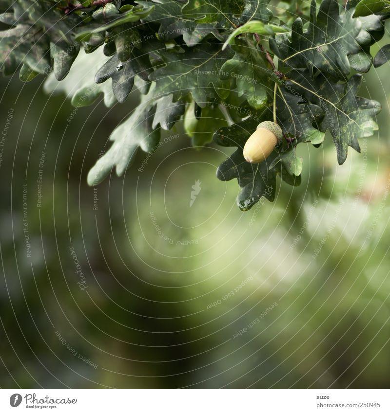 Eichel Daus Frucht Umwelt Natur Pflanze Baum Blatt dunkel natürlich grün Eicheln Zweige u. Äste reif Farbfoto mehrfarbig Außenaufnahme Nahaufnahme