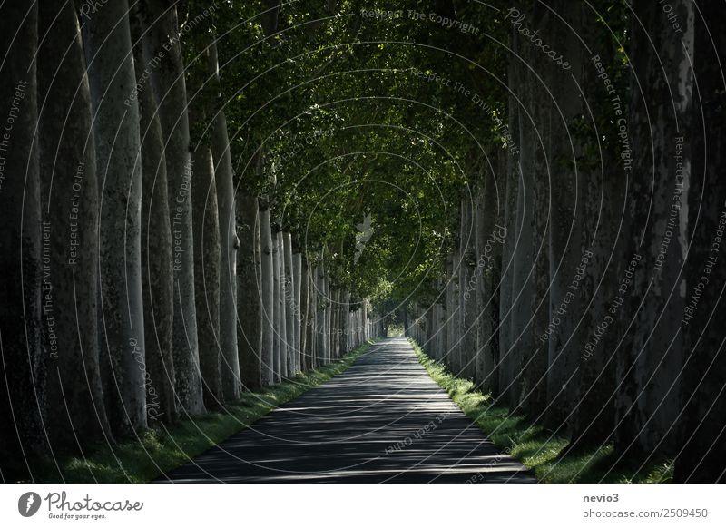 Französische Platanen-Allee nahe dem Schloss Versaille Natur Landschaft Baum natürlich grün Frühlingsgefühle Platanenallee Versailles Laubbaum Blatt Straße
