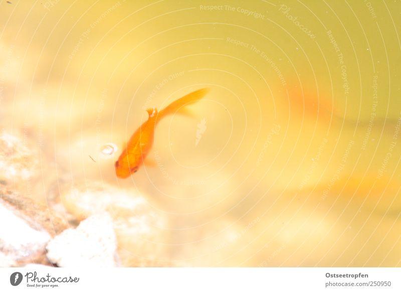 noch mal luft holen Wasser grün weiß gelb orange Schwimmen & Baden Fisch Haustier Teich