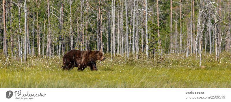 Braunbär Safari Jäger Wissenschaften Biologie Umwelt Natur Tier Erde Baum Wald Wildtier Bär 1 wild braun Tierliebe Umweltschutz Tiere Tierwelt Akkordata