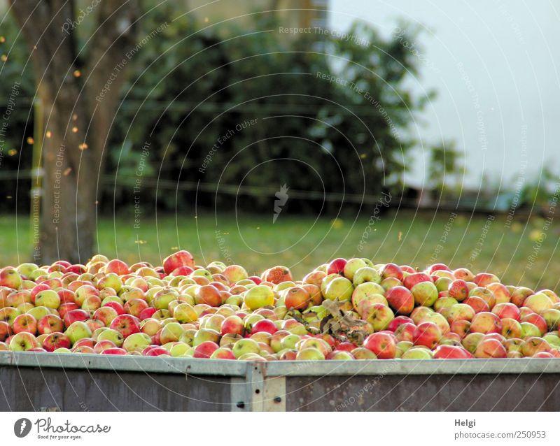 Chamansülz | Apfelernte Lebensmittel Frucht Ernährung Bioprodukte Vegetarische Ernährung Umwelt Natur Landschaft Pflanze Wolkenloser Himmel Schönes Wetter Baum
