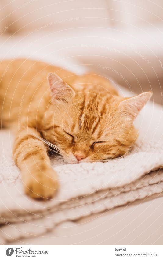 Nickerchen Katze Erholung Tier ruhig Lifestyle natürlich orange Häusliches Leben Wohnung Zufriedenheit Freizeit & Hobby liegen authentisch Lebensfreude niedlich