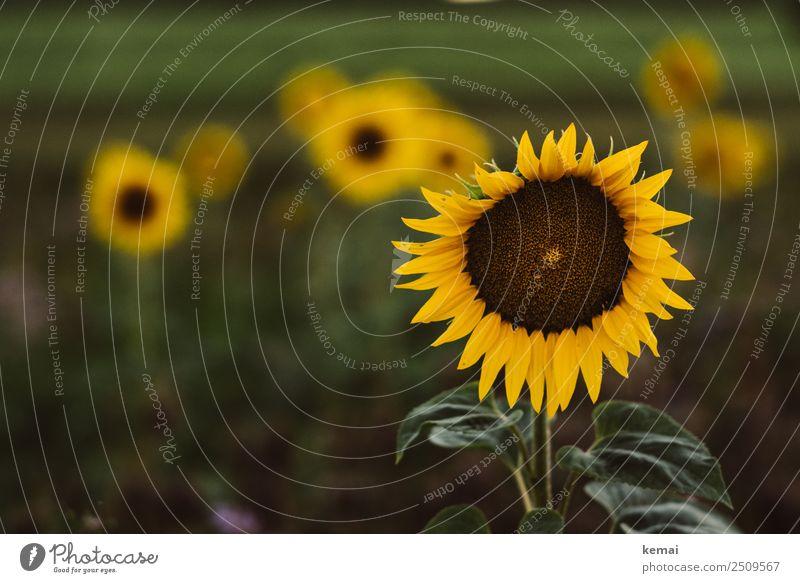 Sonnenblumen überall Natur Sommer Pflanze schön grün Blume Erholung ruhig Leben gelb Zufriedenheit Freizeit & Hobby Feld Wachstum authentisch Lebensfreude