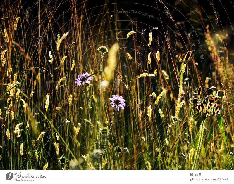 Sommerwiese Natur Pflanze Schönes Wetter Blume Gras Sträucher Blatt Blüte Wildpflanze Wiese Blühend Duft leuchten Wachstum hell Blumenwiese Heublumen Farbfoto