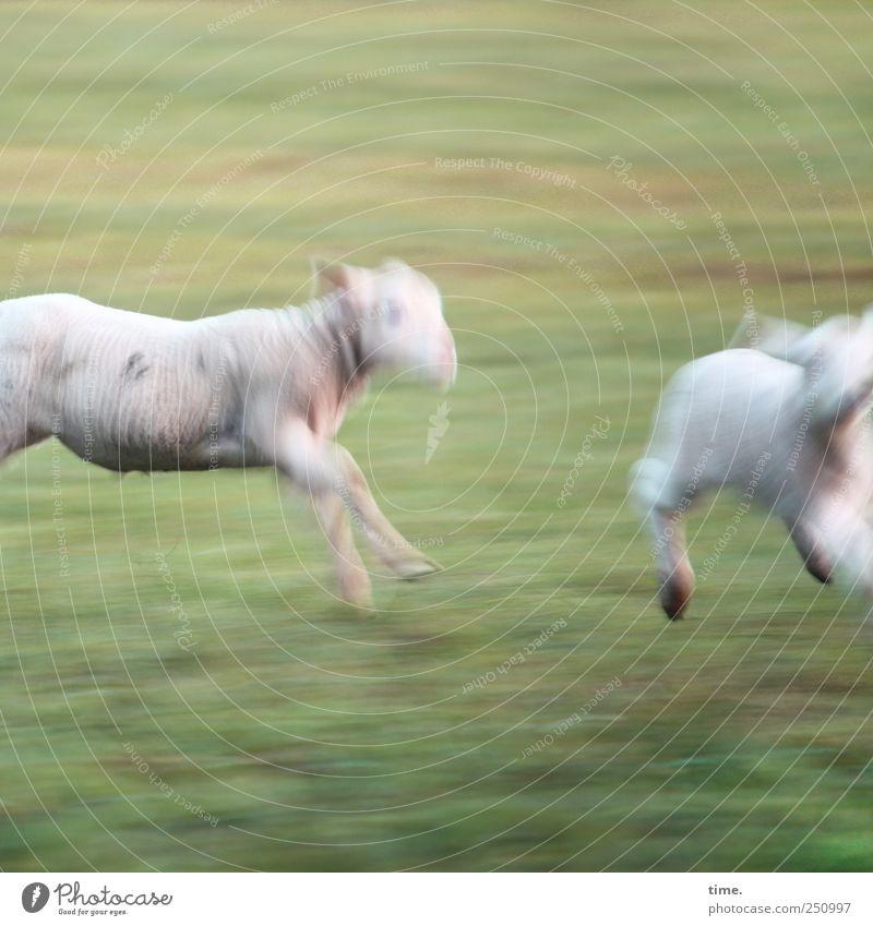 Sportfotografie (Grundkurs) | ChamanSülz Wiese Tier Nutztier Schaf Lamm 2 Tierjunges rennen Jagd laufen Abenteuer Lebensfreude Leichtigkeit Rennsport Laufsport