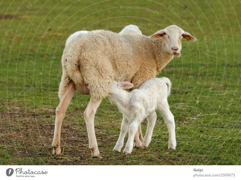 Schönes Lamm neben seiner Mutter schön Sommer Erwachsene Familie & Verwandtschaft Umwelt Natur Landschaft Tier Gras Wiese Hügel Pelzmantel Herde Fressen
