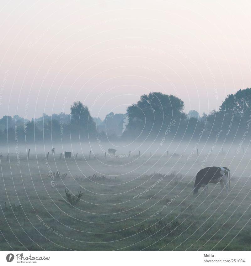 früh ruhig Wiese Umwelt Landschaft Nebel Klima Landwirtschaft Kuh Weide Fressen ländlich Nutztier Nebelbank