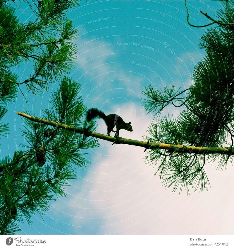 Moonwalker Himmel Wolken Sommer Schönes Wetter Pinie Tier Wildtier Eichhörnchen 1 Bewegung entdecken krabbeln Tanzen frech hoch klein Neugier niedlich klug