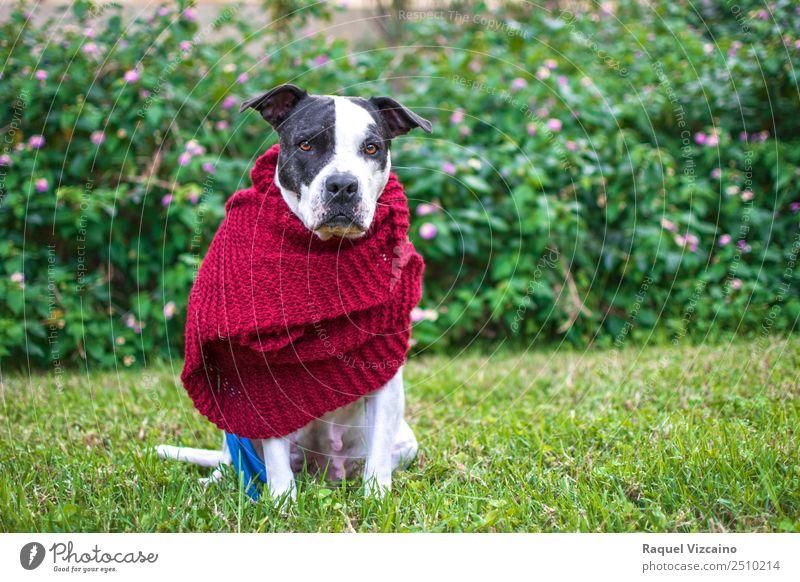 Hund mit rotem Schal im Park Natur Pflanze Gras Feld Tier Haustier 1 Denken Blick grün weiß gehorsam friedlich ruhig Stil Farbfoto Außenaufnahme