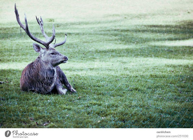 jäger meister Wiese Tier Wildtier 1 grau grün Hirsche Damwild Horn sitzen ruhend Farbfoto Gedeckte Farben Außenaufnahme Tag Ganzkörperaufnahme