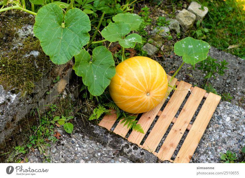 ein gelber Bio Kürbis im Beet Freizeit & Hobby Garten Gartenarbeit Treppe Wachstum pflegen Ernte erde Botanik bio bioanbau biologisch selbstversorger Farbfoto