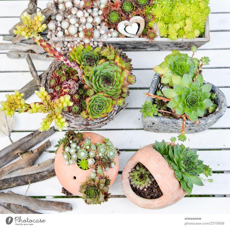 verschiedene Hauswurzpflanzen in Töpfen und Kannen Freizeit & Hobby Garten Pflanze Blüte viele Verschiedenheit sammlung reihe Mini-Staude terakotta Tontopf