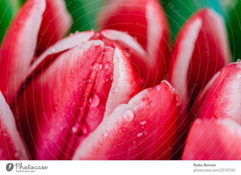Wunderschöne feuchte rote Tulpenblüten Garten Dekoration & Verzierung Valentinstag Muttertag Geburtstag Natur Pflanze Frühling Sommer Blume Blatt Blüte
