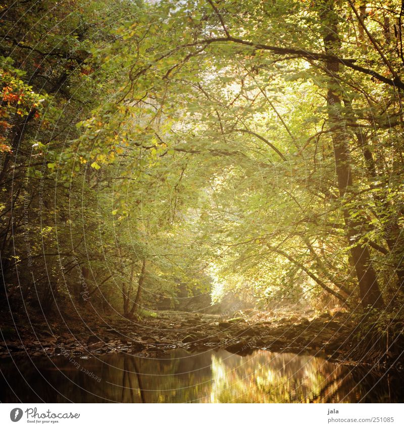CHAMANSÜLZ | zauberwald Umwelt Natur Landschaft Pflanze Herbst Baum Grünpflanze Wildpflanze Wald Bach natürlich braun gold grün Farbfoto Außenaufnahme