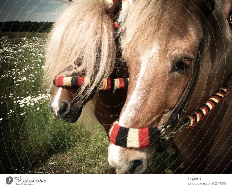Fans Natur Freude Tier Landschaft Bewegung Glück Zufriedenheit Freizeit & Hobby natürlich stehen Streifen Pferd Freundlichkeit Sportveranstaltung Ponys Nutztier