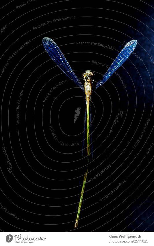 Grazie Umwelt Natur Tier Frühling Sommer Libelle Libellenflügel 1 stehen blau gelb grün schwarz Farbfoto Nahaufnahme Menschenleer Freisteller