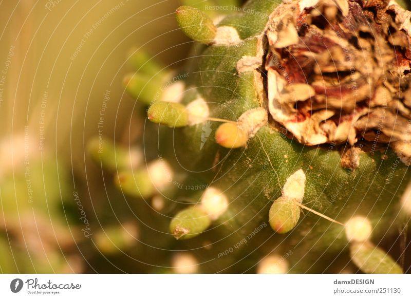 Stacheliges Früchtchen Lebensmittel Frucht Natur Sommer Pflanze Kaktus exotisch genießen authentisch frisch lecker saftig stachelig süß braun gelb grün weiß