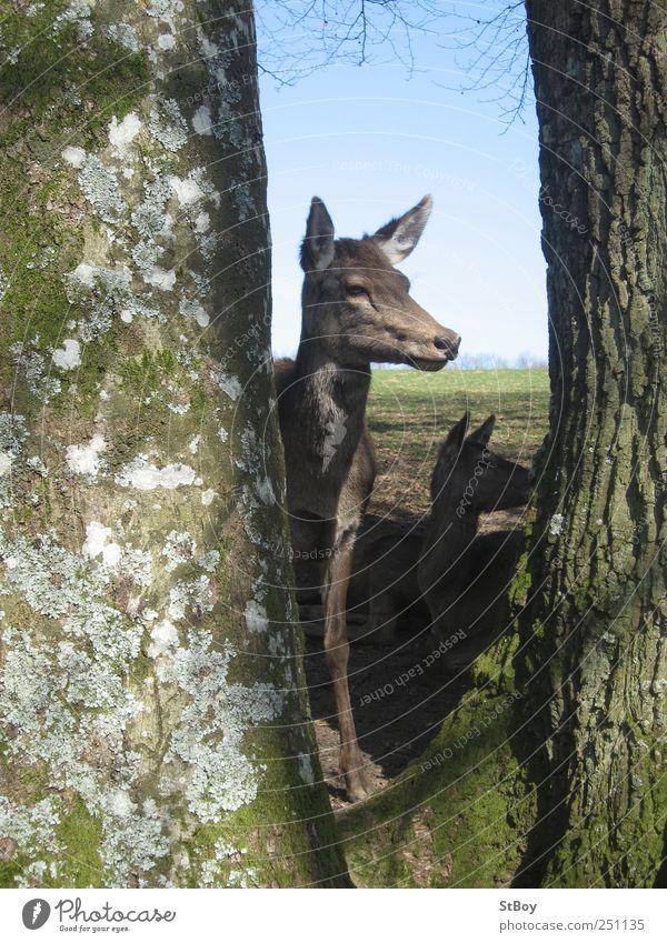 Vorsichtiger Blick Ausflug wandern Landwirtschaft Forstwirtschaft Natur Landschaft Himmel Wolkenloser Himmel Sommer Schönes Wetter Baum Moos Baumstamm Tier