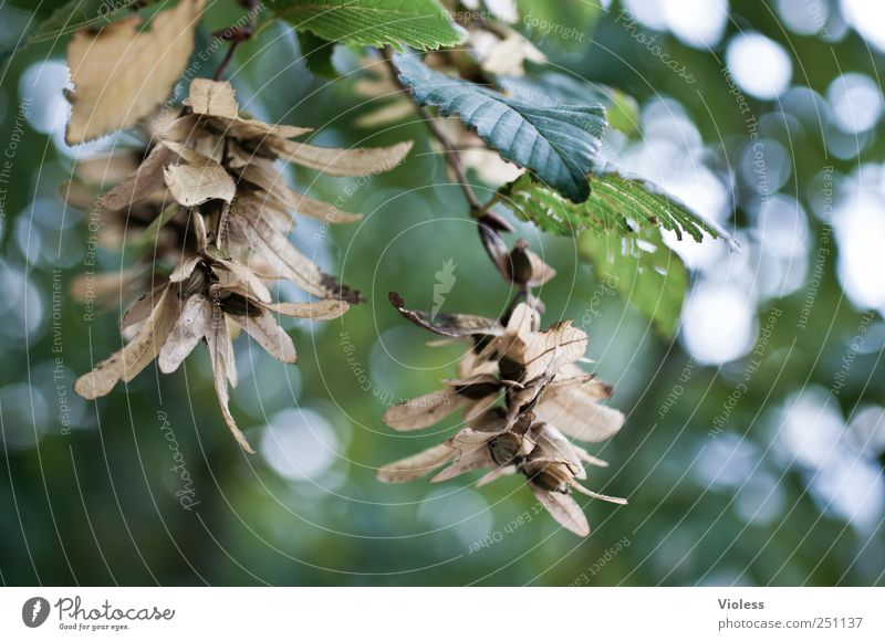 Hainbuche - deciduous tree Natur Pflanze Herbst Baum Blatt hängen Buche Früchtestand Farbfoto Nahaufnahme Detailaufnahme Tag Licht