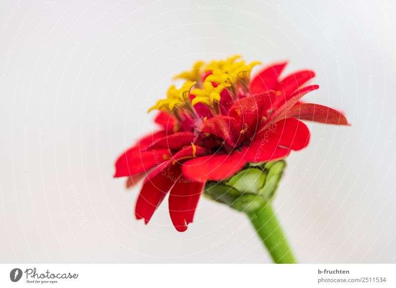 Rote Blüte Sommer Blume Garten elegant frisch schön gelb rot Fröhlichkeit Lebensfreude Freundschaft Liebe Romantik Hoffnung Glaube Religion & Glaube