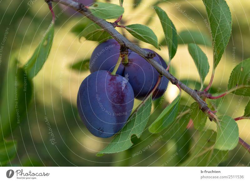 Zwetschgen am Baum Lebensmittel Frucht Bioprodukte Vegetarische Ernährung Gesunde Ernährung Landwirtschaft Forstwirtschaft Pflanze Nutzpflanze frisch natürlich