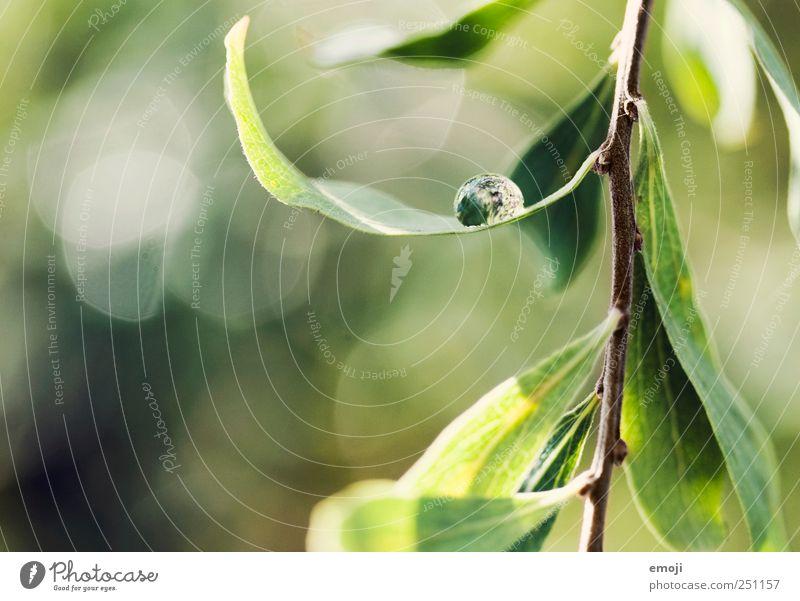 Hängematte Umwelt Natur Wassertropfen Frühling Schönes Wetter Pflanze Sträucher Blatt Grünpflanze natürlich grün Tropfen frisch glänzend Farbfoto Außenaufnahme