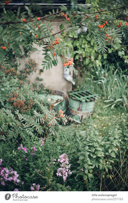 . Natur Pflanze Garten natürlich grün Vogelbeerbaum Regentonne Regenrinne bewachsen Brennnessel Farbfoto Außenaufnahme