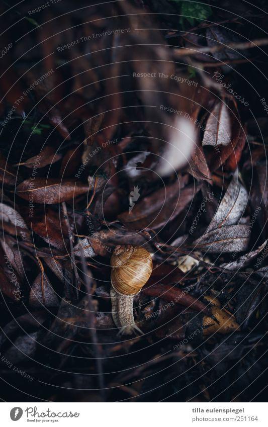 phlegmatiker Blatt Tier Schnecke 1 dunkel natürlich Natur langsam Weinbergschnecken krabbeln Farbfoto Außenaufnahme Tierporträt