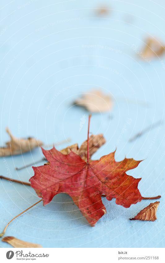 [CHAMASÜLZ 2011] Mitbringsel Umwelt Natur Pflanze Herbst liegen alt natürlich trocken blau braun Wandel & Veränderung Herbstlaub herbstlich Herbstbeginn