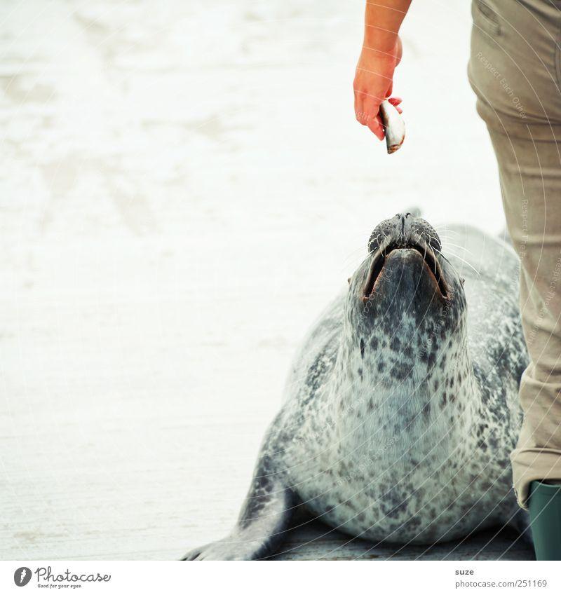 Fisherman's Friend Hand Beine 1 Mensch Tier Wildtier Fisch Tiergesicht füttern liegen warten lustig Neugier niedlich wild Rettung Halbschlaf Seehund Robben