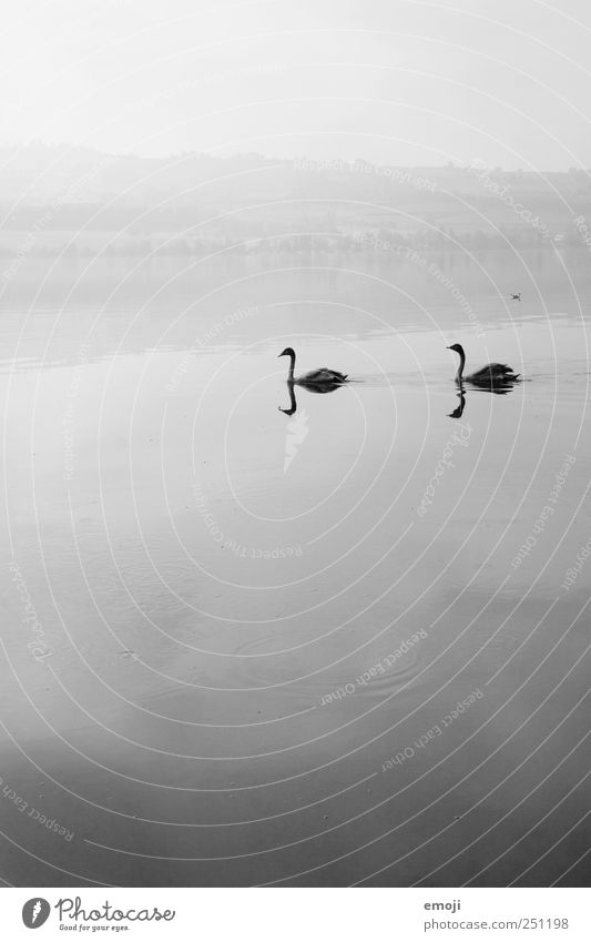 zu zweit allein Natur Urelemente Wasser Himmel schlechtes Wetter Nebel See 2 Tier Tierpaar grau schwarz Schwan Schwanensee Reflexion & Spiegelung trist ruhig