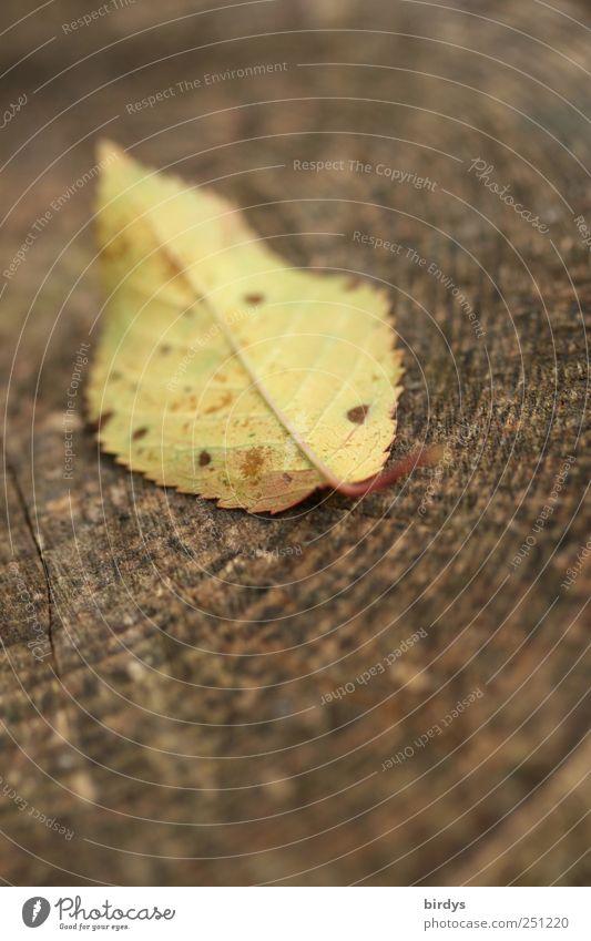 Blattschuß Herbst liegen authentisch natürlich braun gelb Natur Wandel & Veränderung Jahresringe Jahreszeiten 1 Holz Herbstfärbung Kirschbaumblatt Herbstlaub