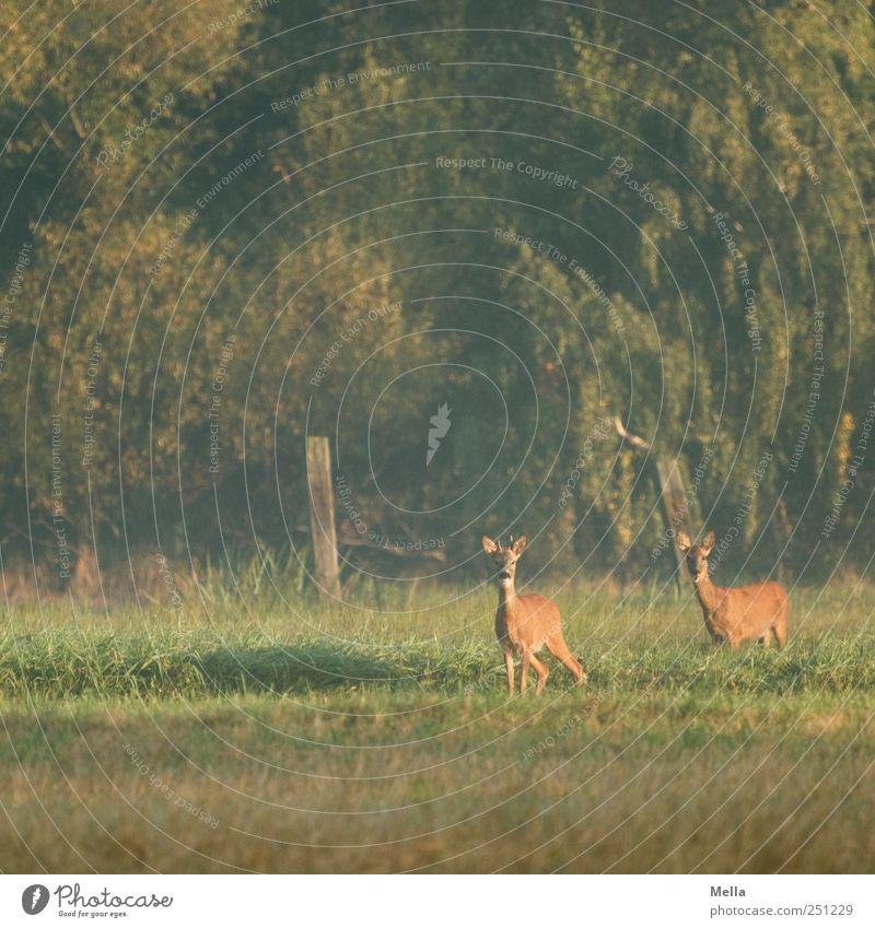 800 - Rehdylle Umwelt Natur Tier Wiese Wald Wildtier 2 Tierpaar Blick stehen frei schön natürlich Neugier grün Freiheit Farbfoto Außenaufnahme Menschenleer