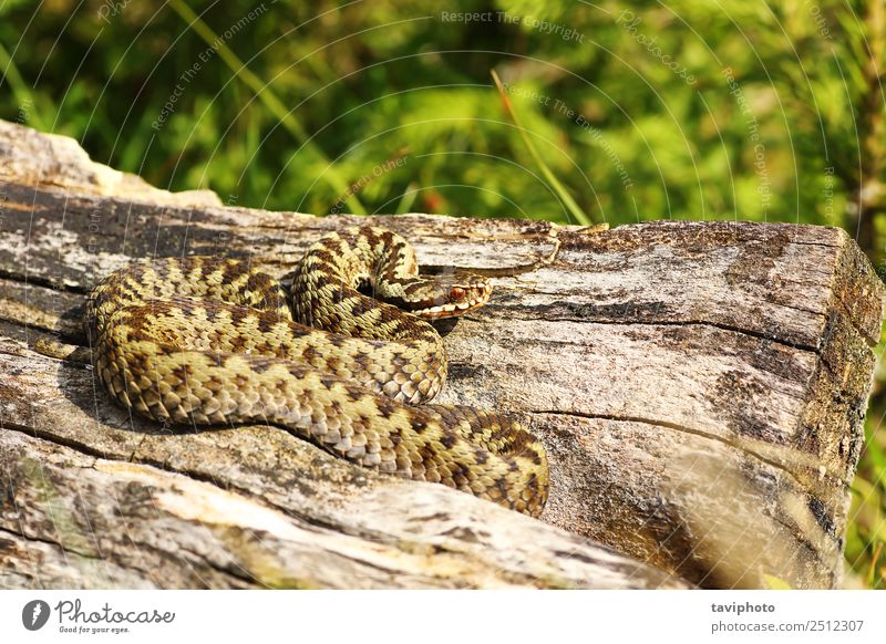 schöner männlicher Gemeiner Otter, der sich sonnt Mann Erwachsene Natur Tier Wildtier Schlange natürlich wild grau Angst gefährlich Ottern Vipera berus Natter
